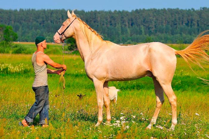 ахалтекинский конь