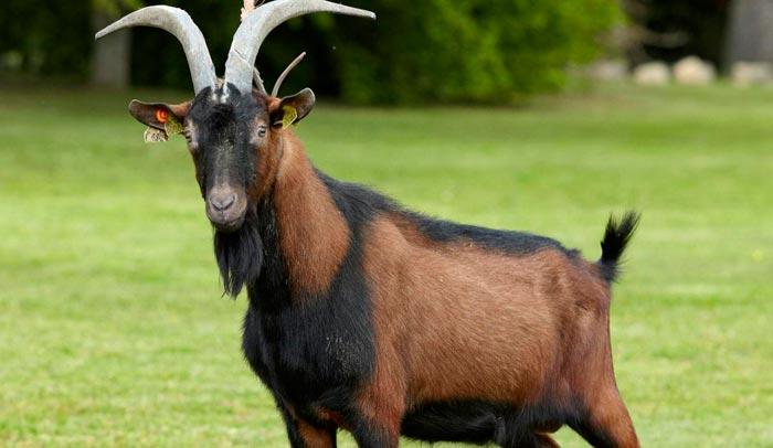 коза с черной полосой