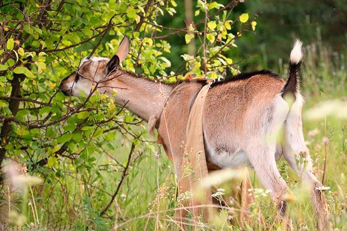 коза ест ветки