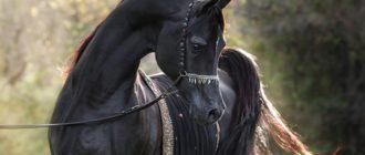 арабская порода лошадей