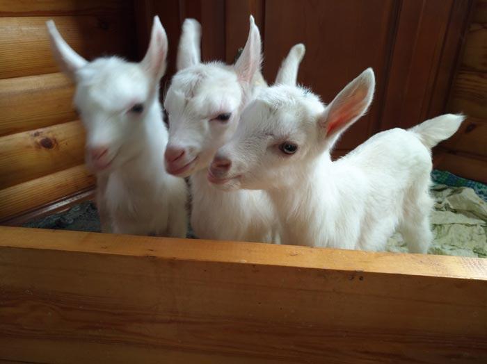три козленка