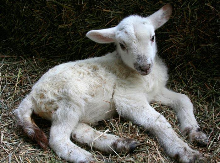 авитаминоз у коз