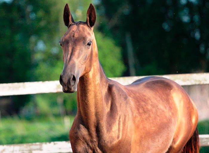 буланный конь
