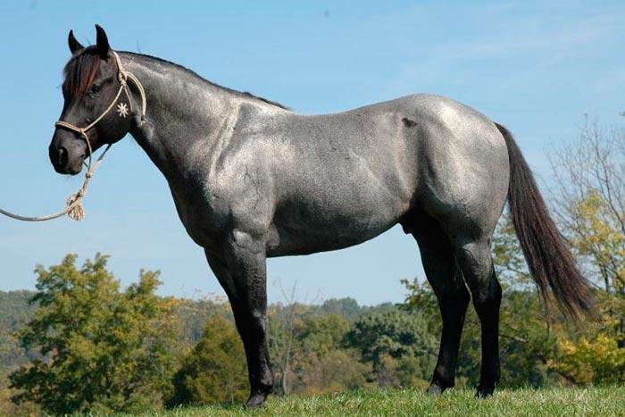 чагравый конь