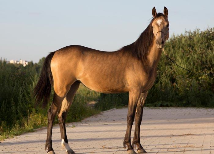 темно-буланный конь