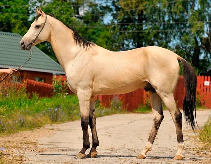 светло-буланный конь