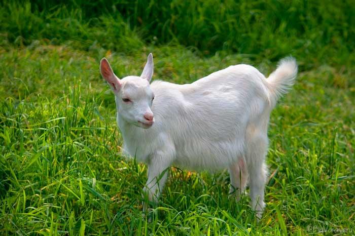 комолая коза