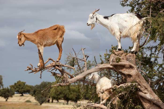мароканские козы