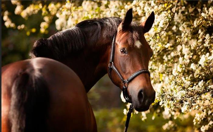 темная гнедая лошадь