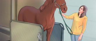взвешивает лошадь