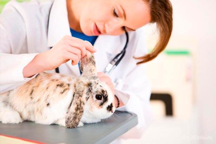 осматривает уши кролика