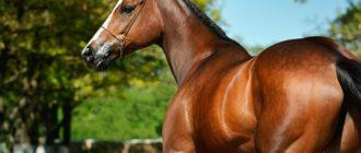 чистокровная английская лошадь