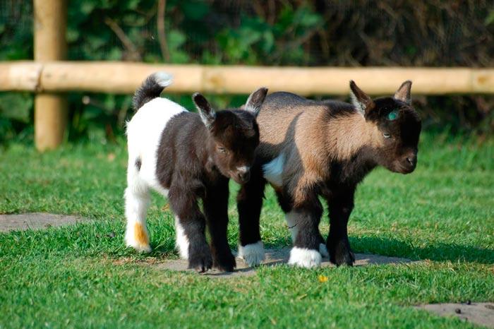 декоративные козы