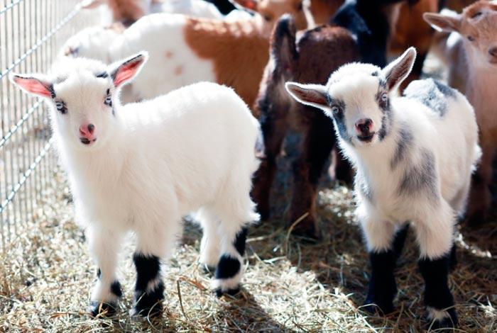 нигерийские козы