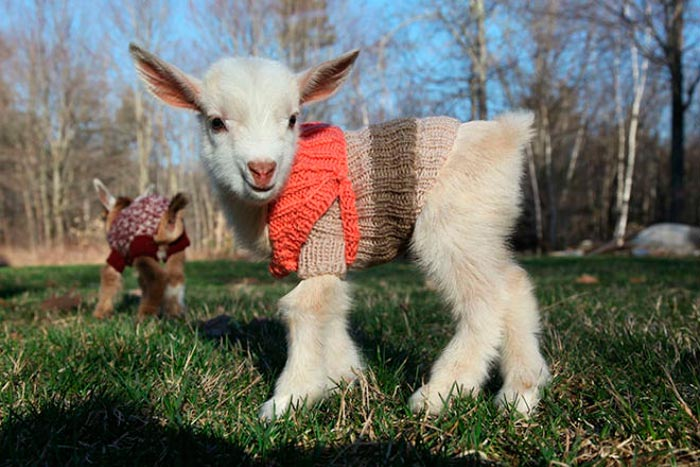 коза в одежде
