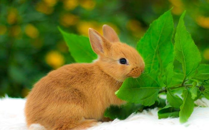 кролик лисичка