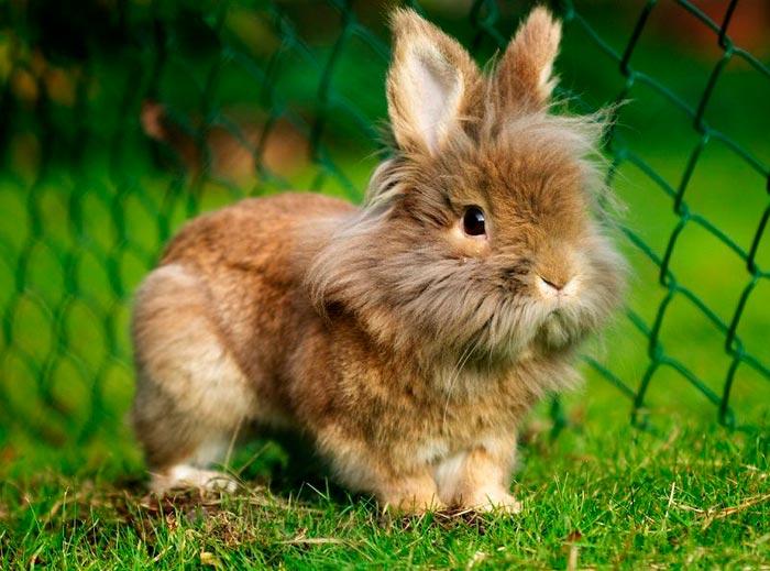 кролик львиный