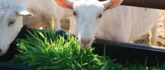коза ест траву
