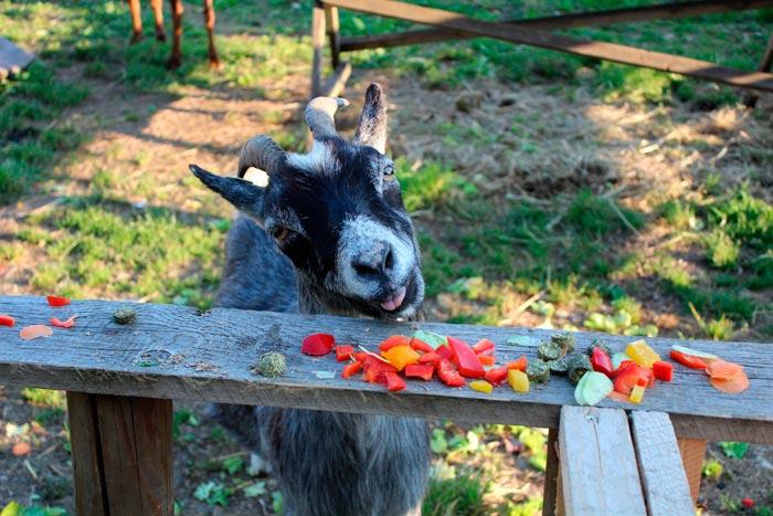 коза ест овощи и фрукты