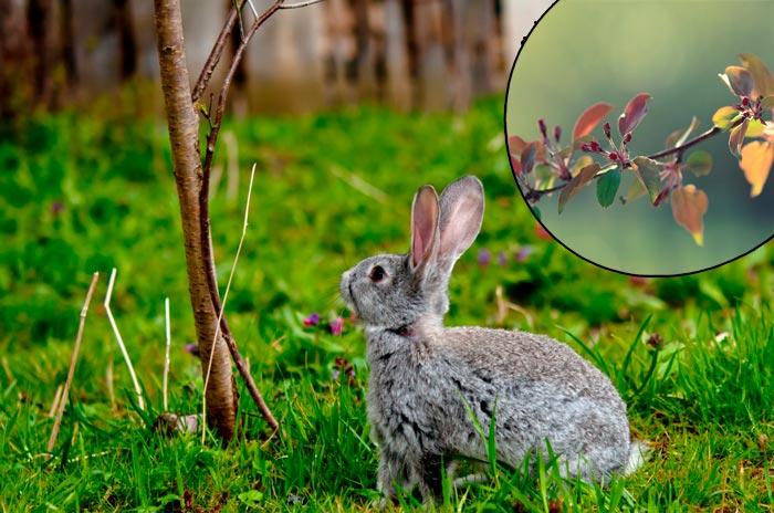 ветки яблони для кроликов