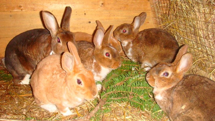 хвоя для кроликов