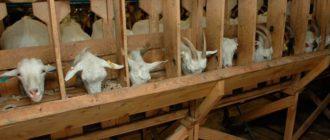 козы едят из кормушки