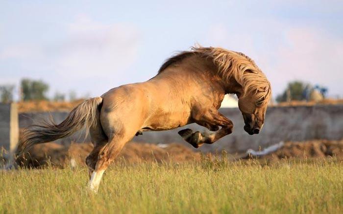 кауровая лошадь