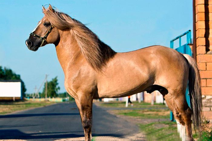 светло-каурый конь