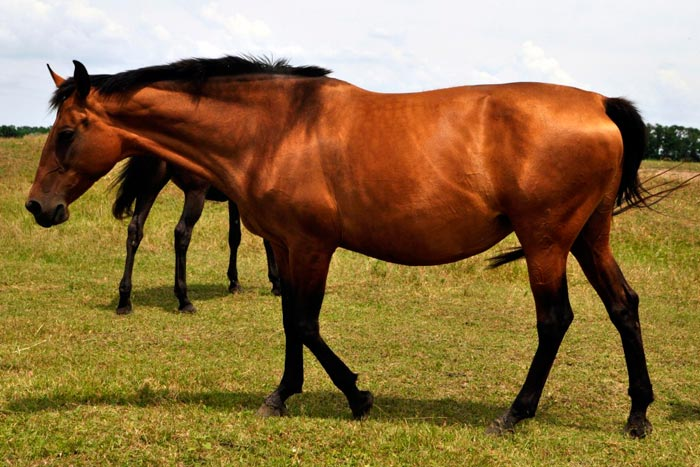 темно-каурый конь