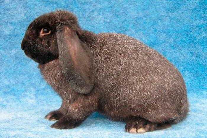 Мейсинский кролик