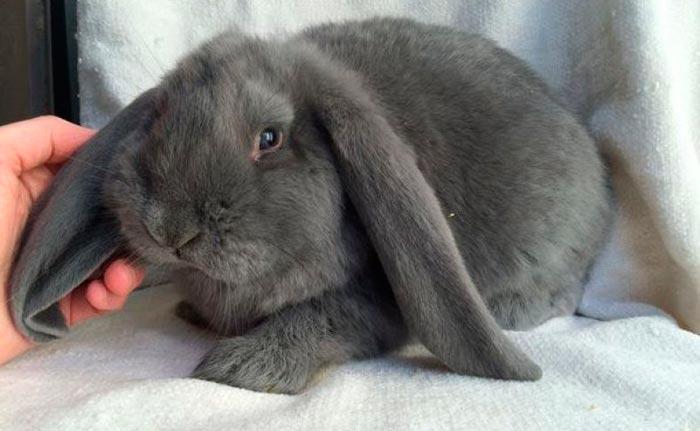 взрослый кролик баран