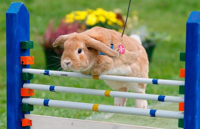 кролик прыгает через барьер