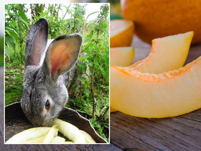 кормление кролика дыней