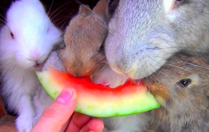 Можно ли кормить кроликов арбузными корками