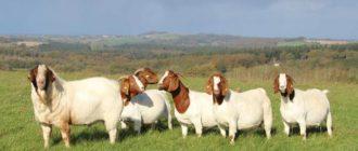 мясные козы