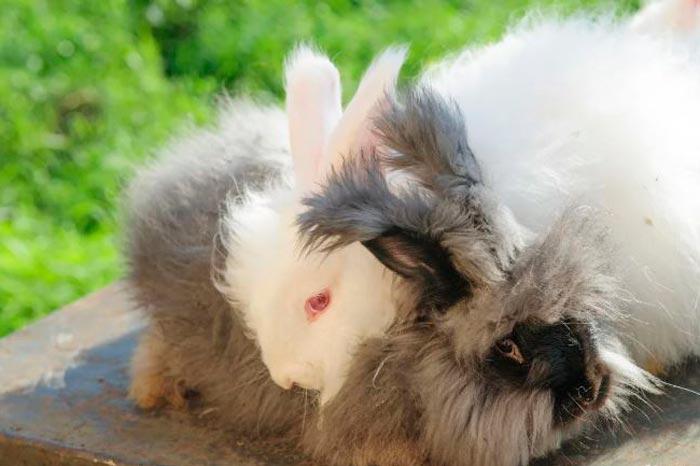 Немецкий кролик