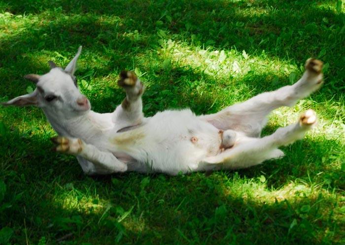 обморочная коза