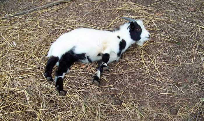 теннесийская коза