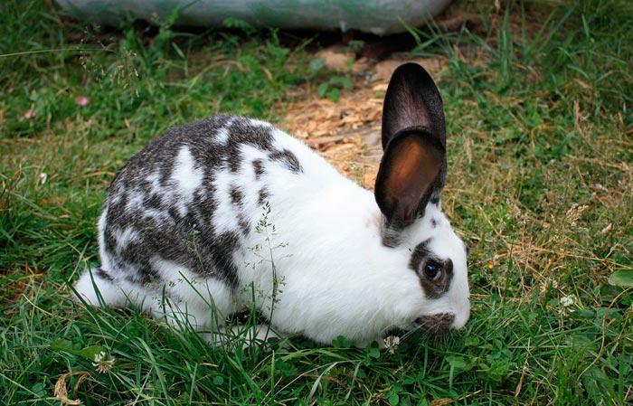 Кролик Бабочка описание и характеристика породы особенности разведение и ухода разновидности