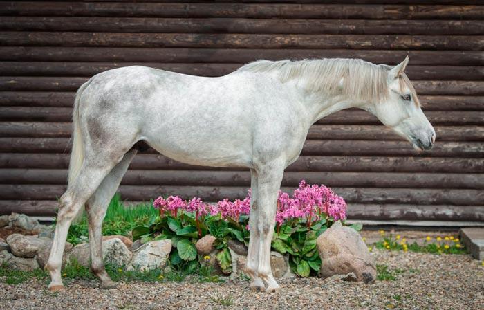 терский конь