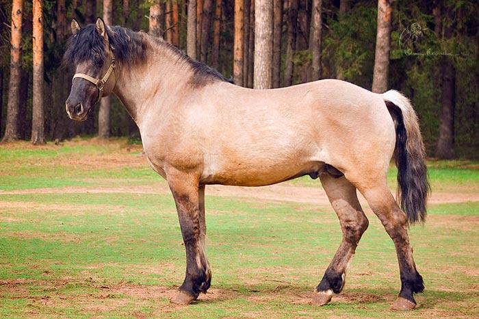 вятская лошадь