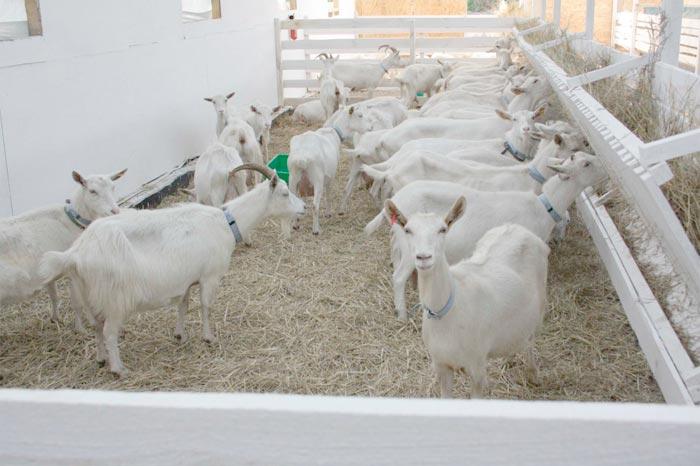 загон для коз
