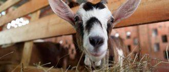 коза ест сено