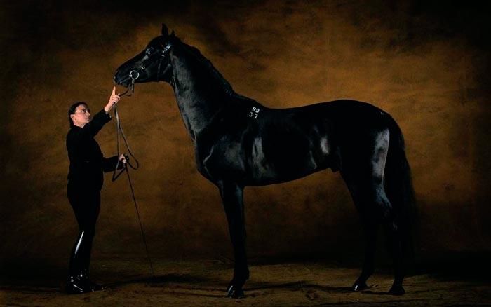Породы скаковых лошадей английская скаковая лошадь