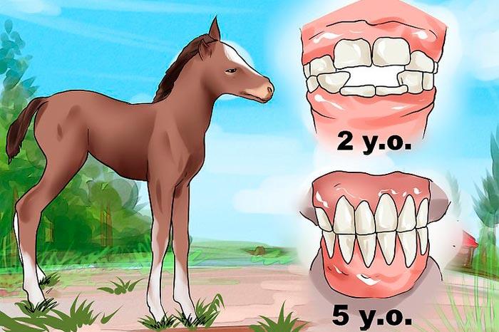 зубы коня в 2 и 5 лет