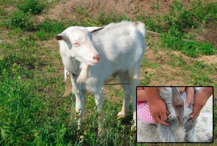 течка у козы