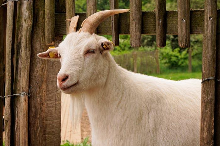 коза домашняя