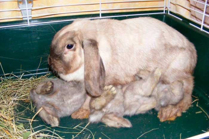 крольчата пьют молоко
