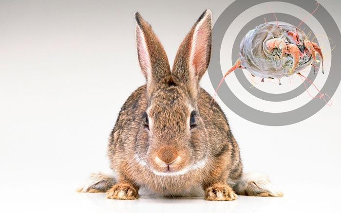 ушной клещ у кролика