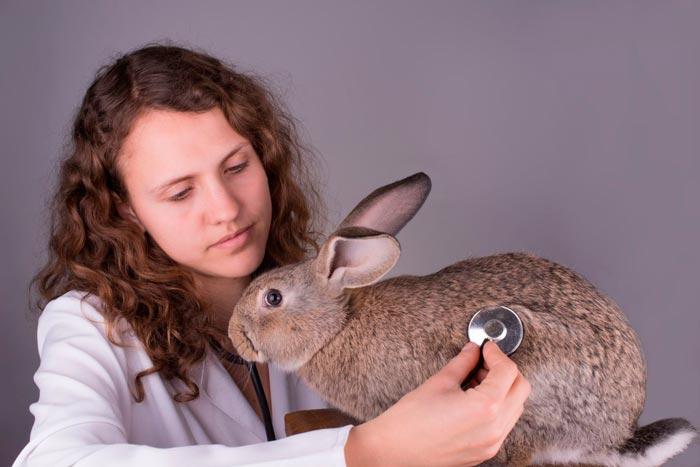 осматривает кролика
